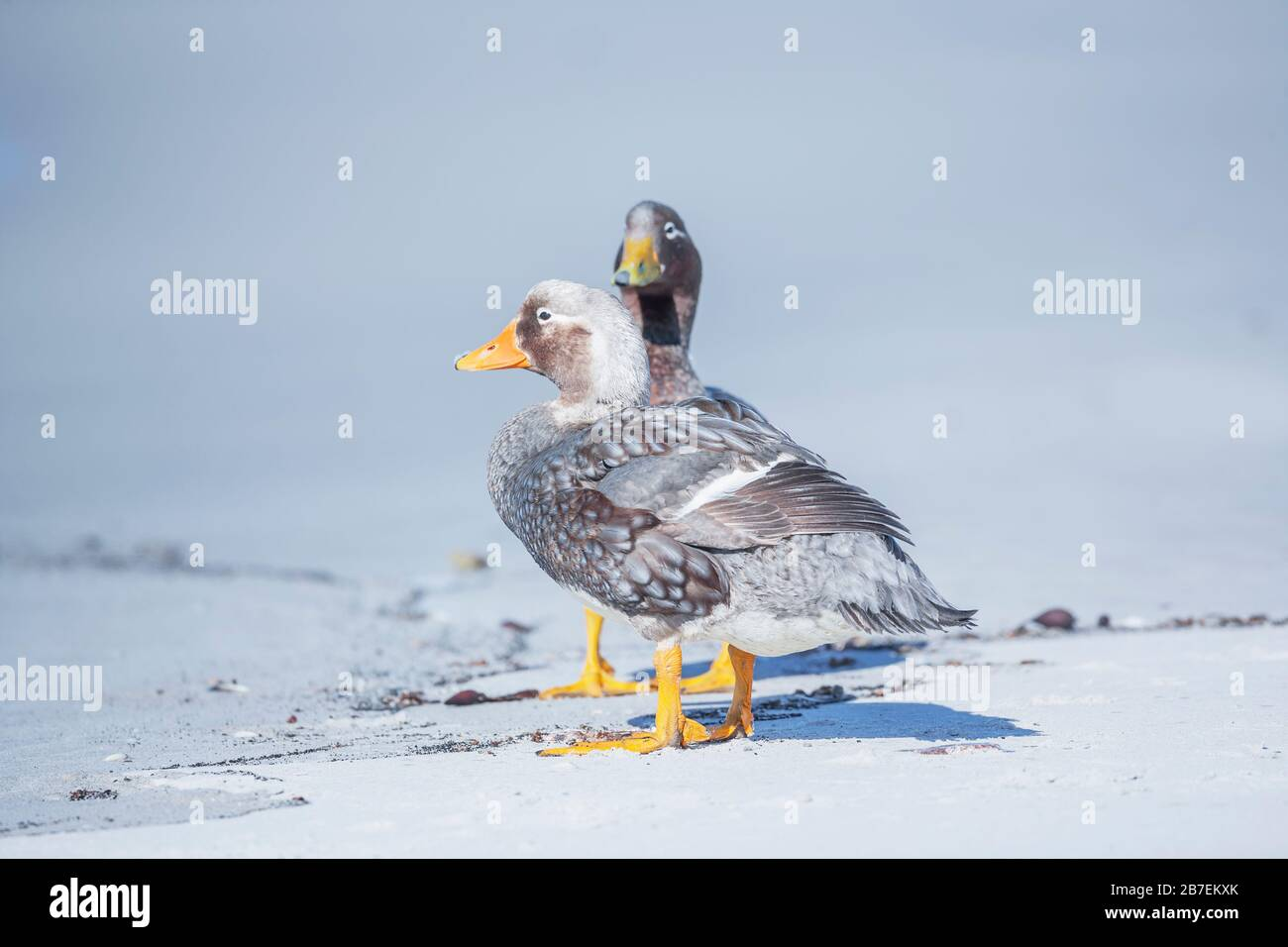 Steamer ducks (Tachyeres brachypterus), Falkland Islands, South America Stock Photo