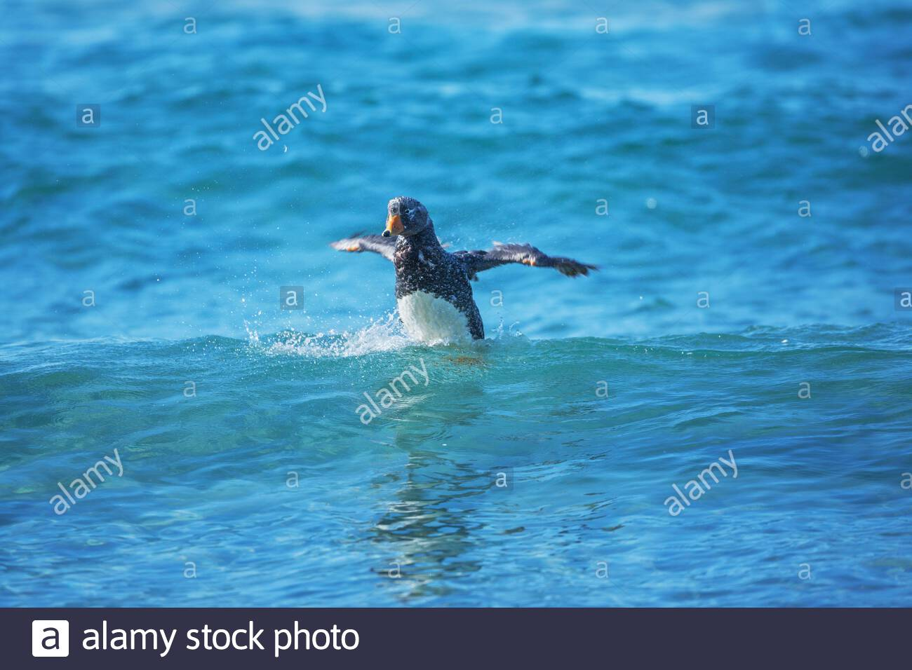 Steamer duck swimming (Tachyeres brachypterus), Falkland Islands, South America Stock Photo