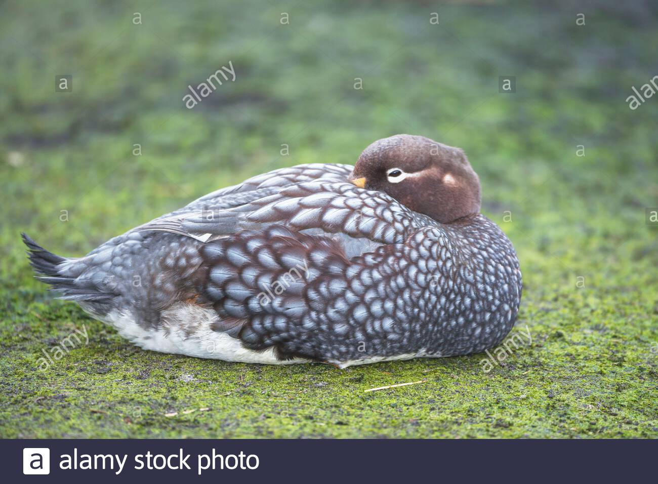 Steamer duck (Tachyeres brachypterus), Falkland Islands, South America Stock Photo