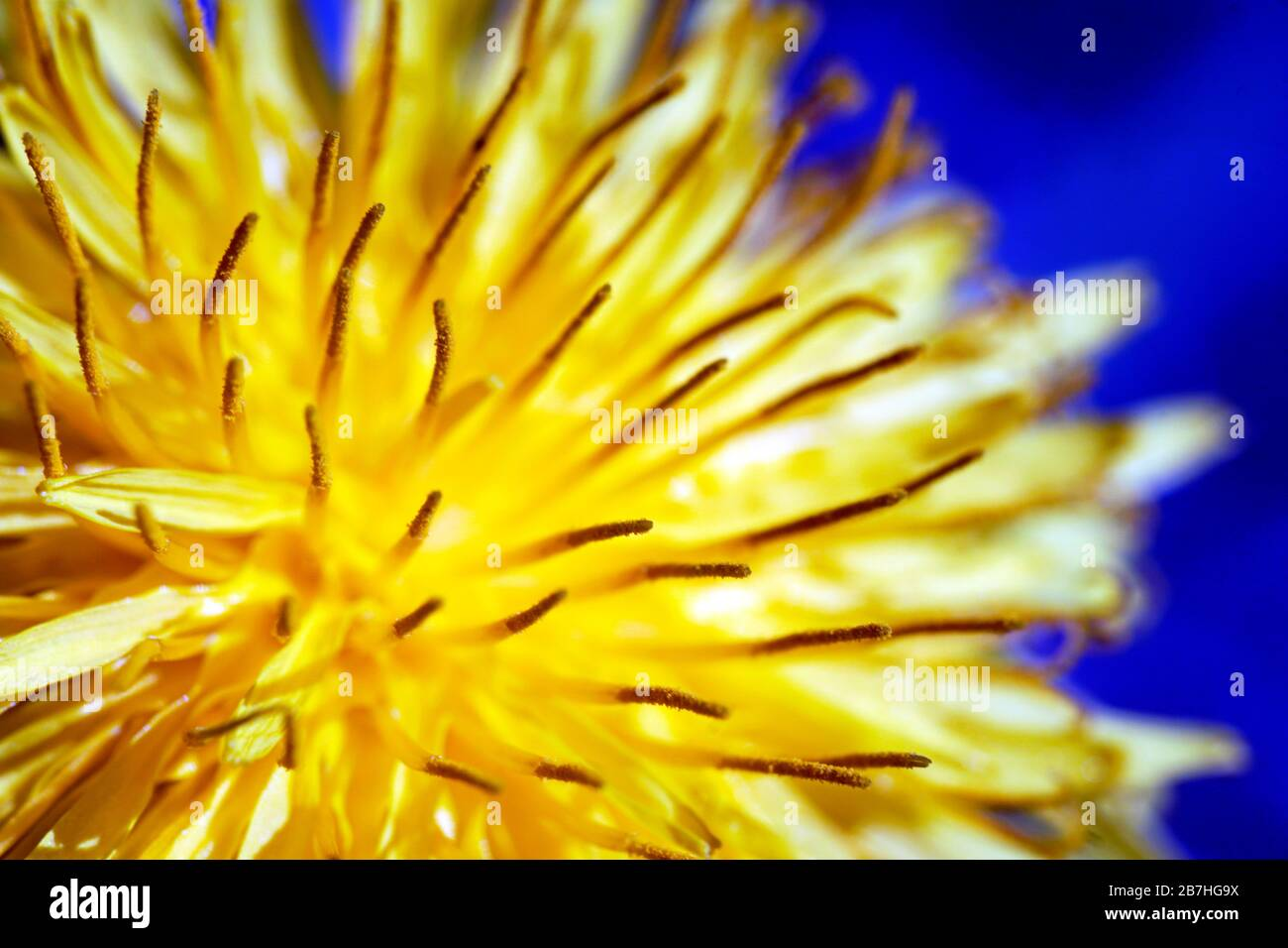 Yellow dandelion close up on the blue background. Spring 2020. Close up handheld macro-photography. Stock Photo