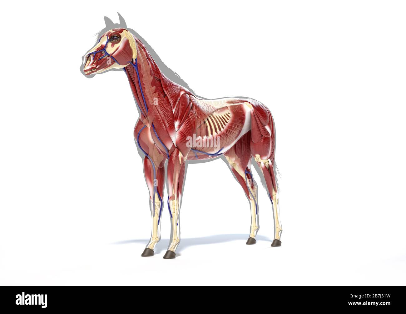 Horse Anatomy Muscular System Over Grey Silhouette Front Side Perspective On White Background Clipping Path Included Stock Photo Alamy