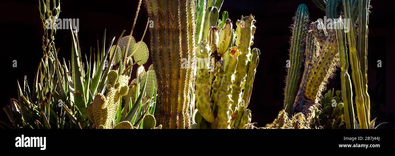 A Panoramic Format Close Up Of Cacti And Succulents Including Aloe Vera Prickly Pear Saguaro Totem Pole Cereus And Mexican Fence Post In Arizona Stock Photo Alamy