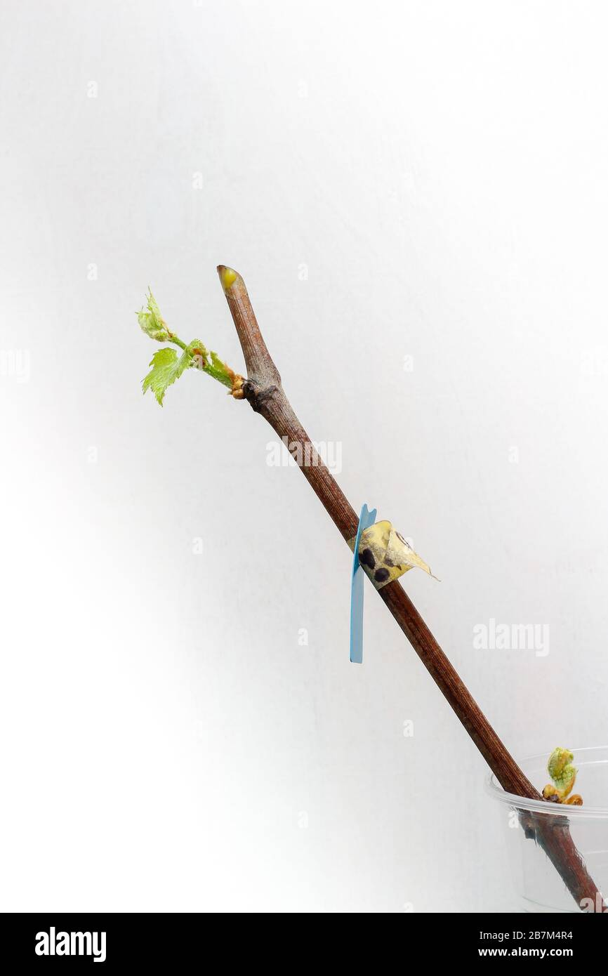 Blossoming seedlings of a vine on a white background. The growth of young grapes leaves in the nursery. Stock Photo