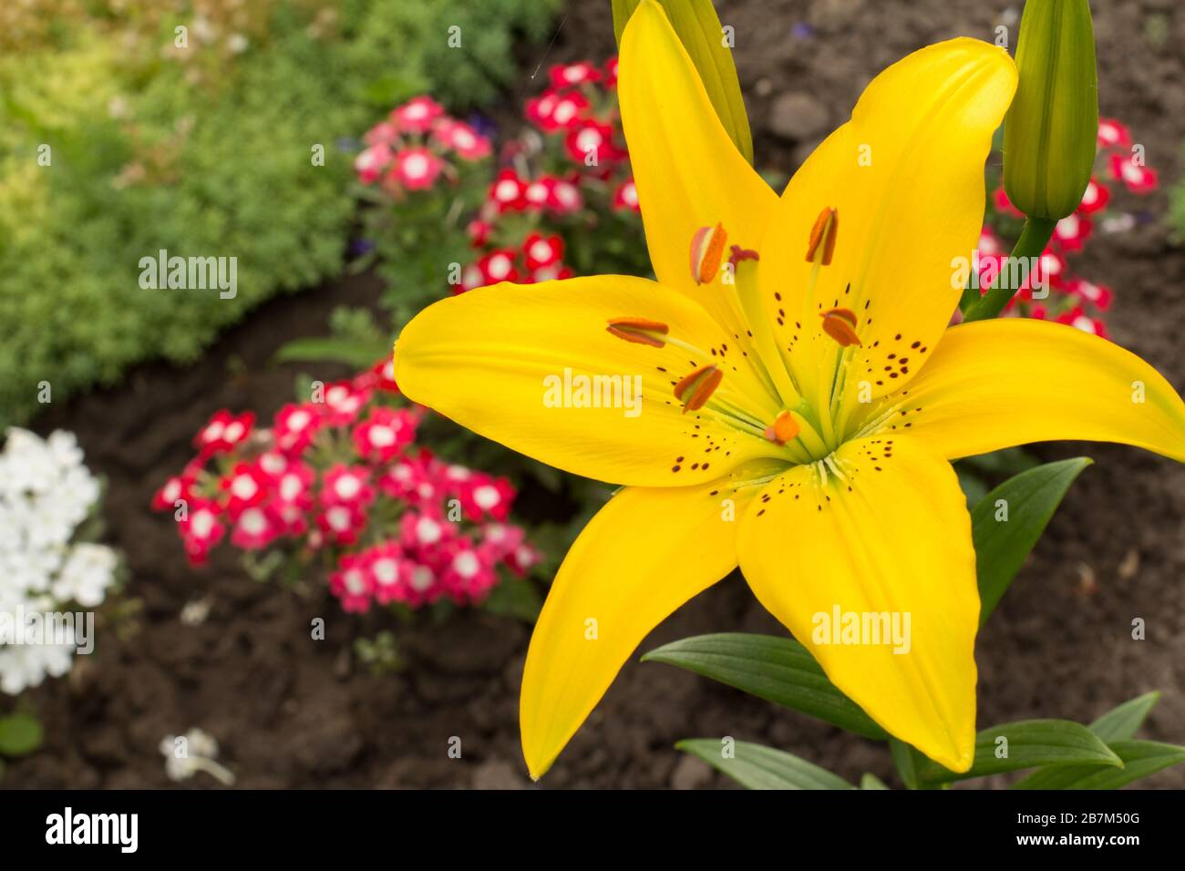 Yellow Lily Flower In The Summer Garden With Blurred Plants And