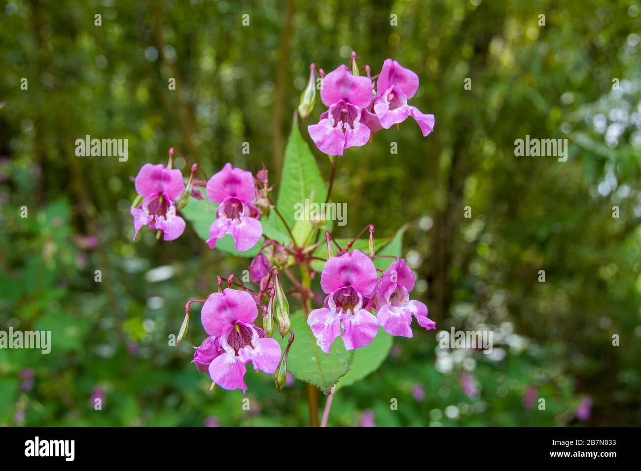 Pink flowers of the Himalayan Balsam, a beautiful but invasive non-native species in English woodland Stock Photo