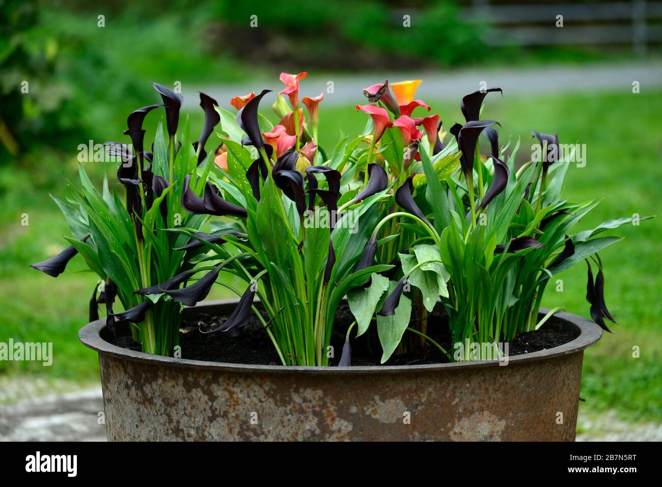 Zantedeschia Aethiopica Calla Lily Arum Lily Orange Black Flowers