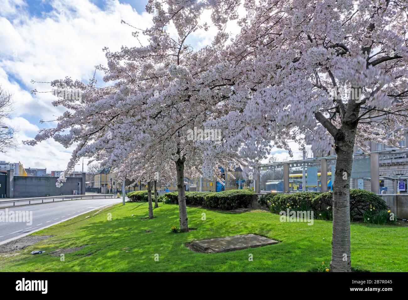 A Group Of Cherry Blossom Trees In Full Bloom Near Heuston Railway Station Dublin Ireland Stock Photo Alamy