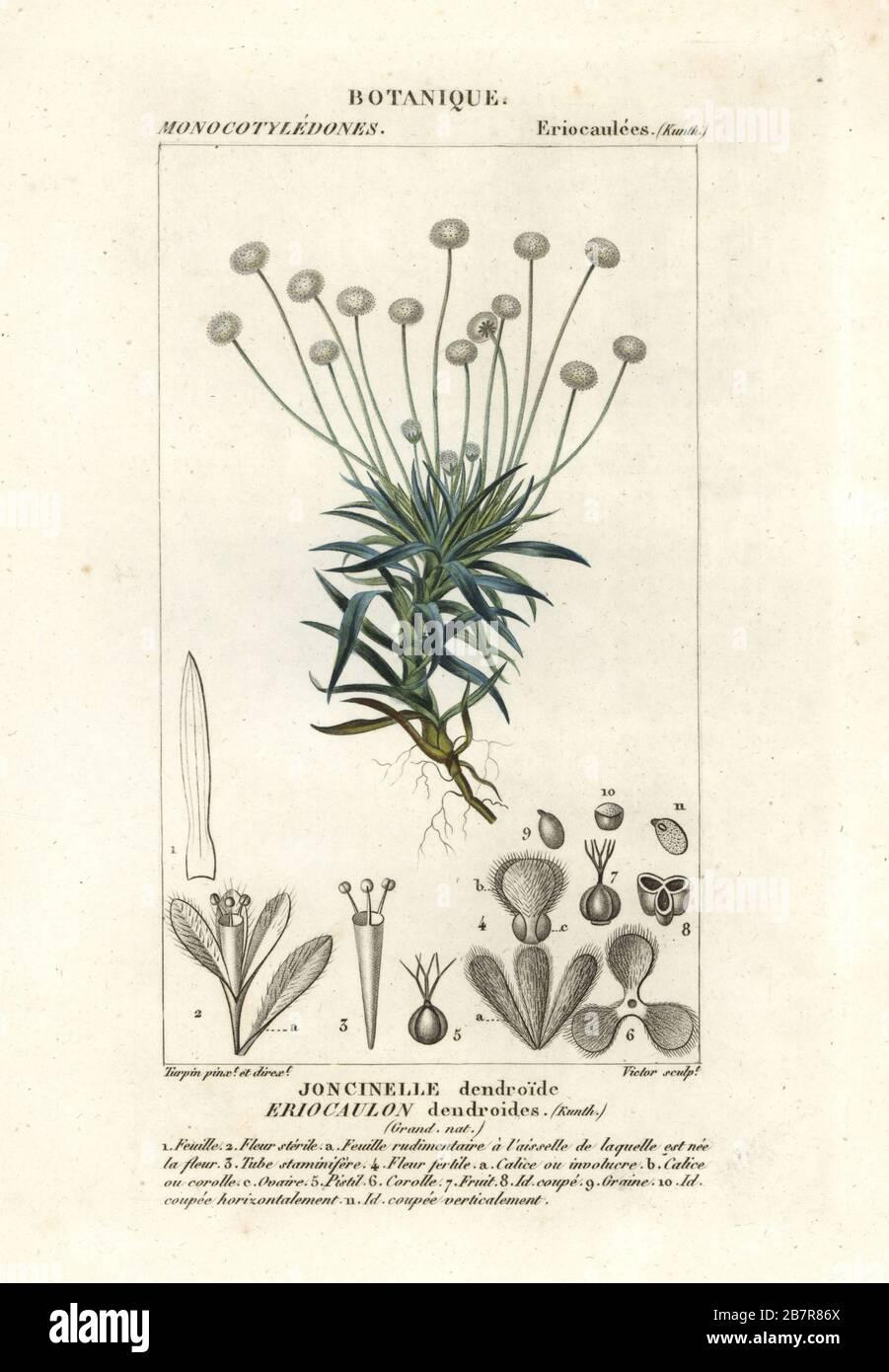 Antique Botanical Print of Eriocaulon dendroides 1829 Rare Hand-coloured Print