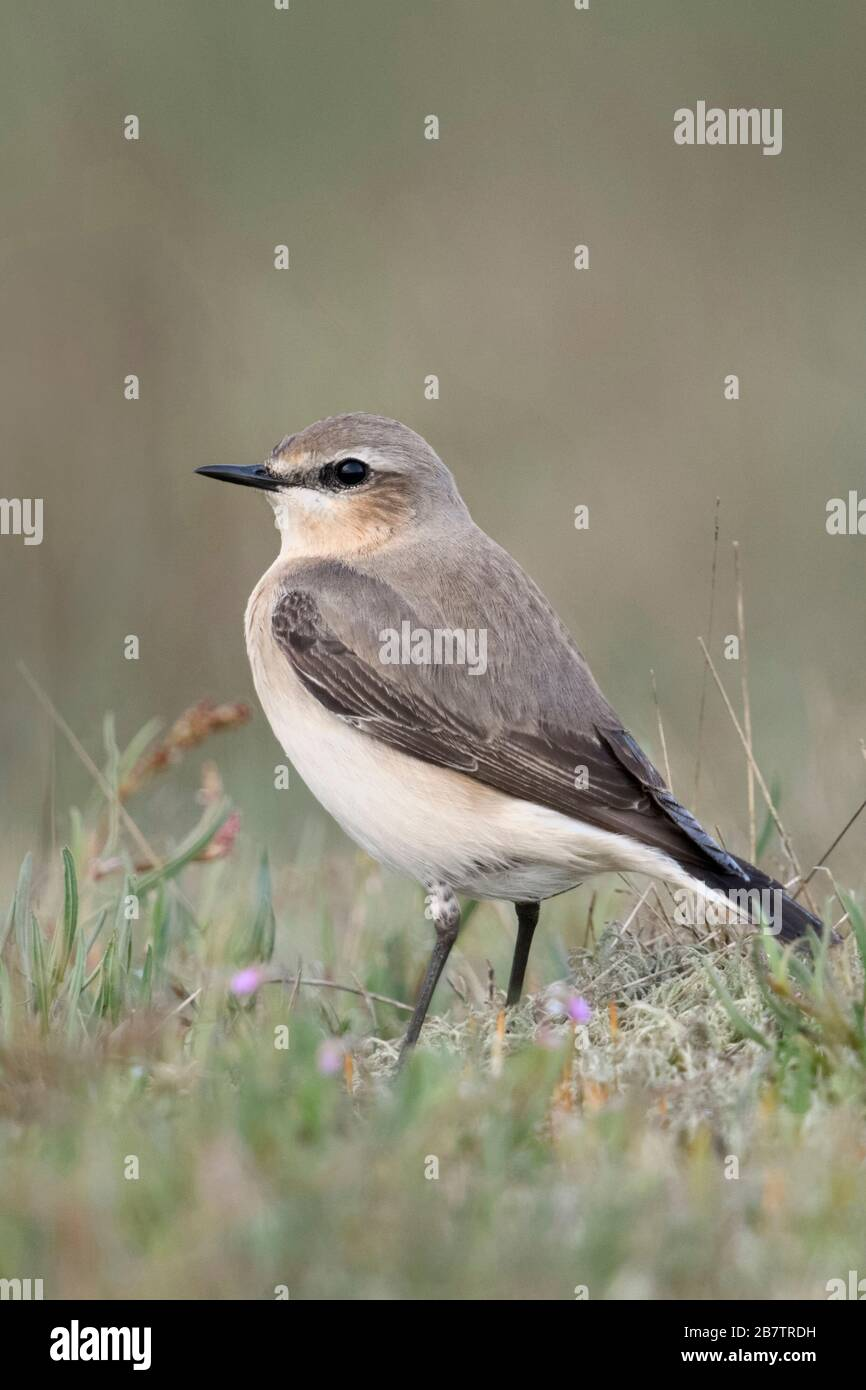 Northern Wheatear ( Oenanthe oenanthe ), male adult, sitting on the ground, in typical surrounding, watching, wildlife, Europe. Stock Photo