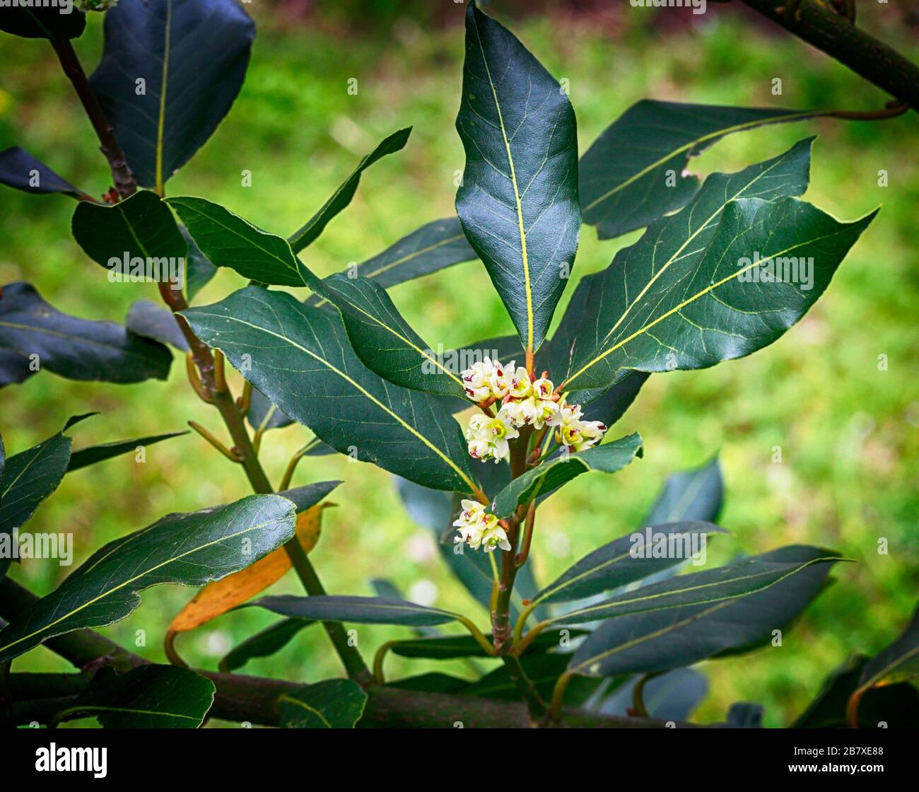 Blooming Bay Tree Bay Leaves With Blossom Flowers Spring