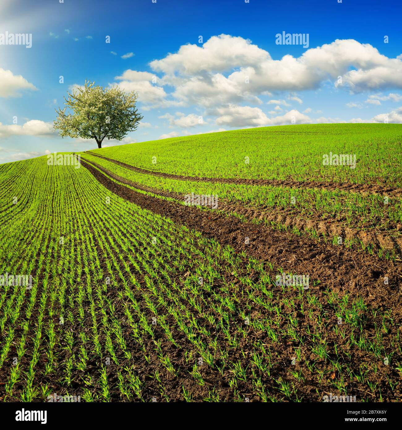 Trails on a field with young plants leading to a lone tree on the horizon. Landscape in square format with a green hill and blue sky Stock Photo