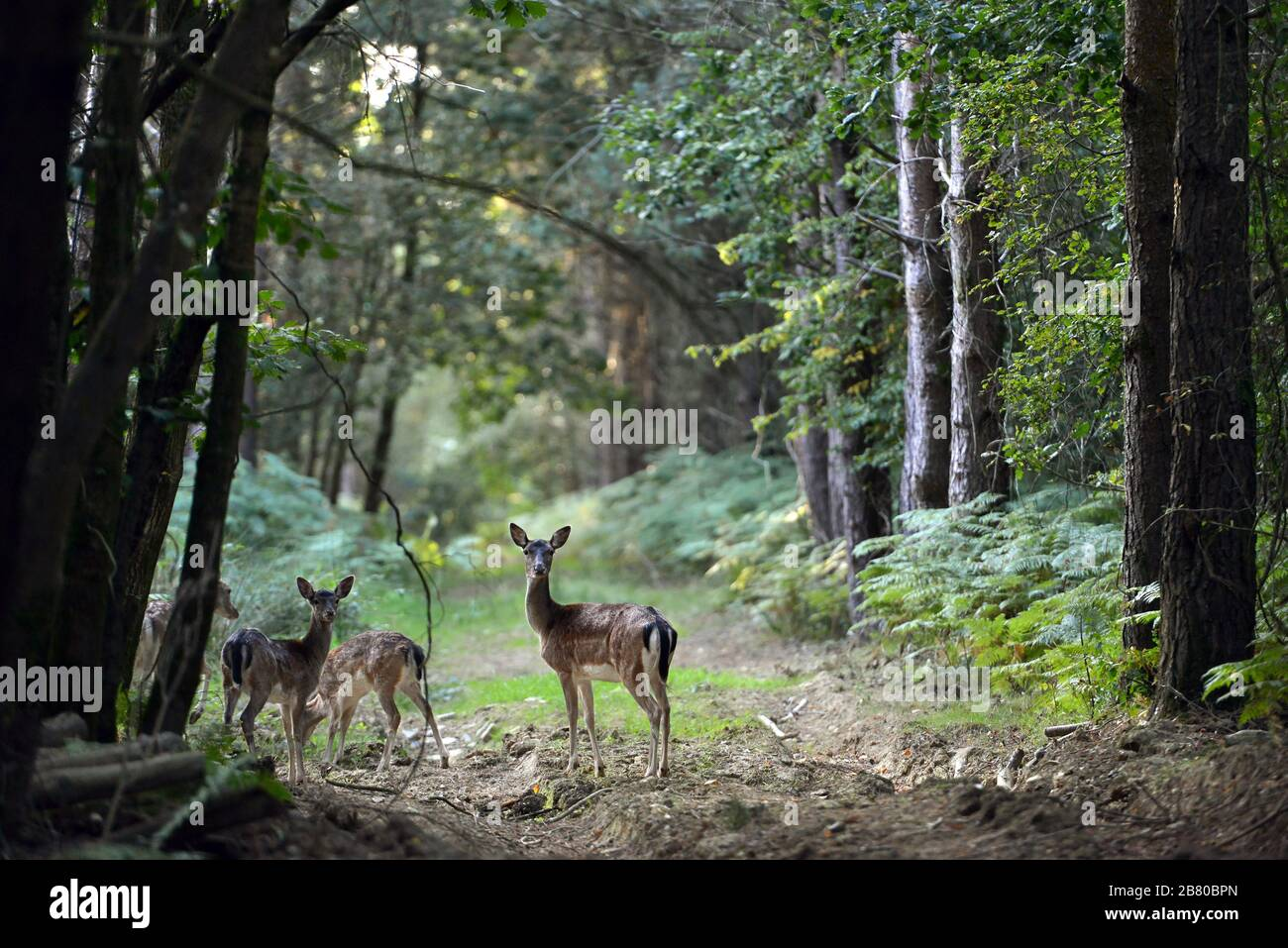 Roe deer in a forest clearing at dawn. Stock Photo