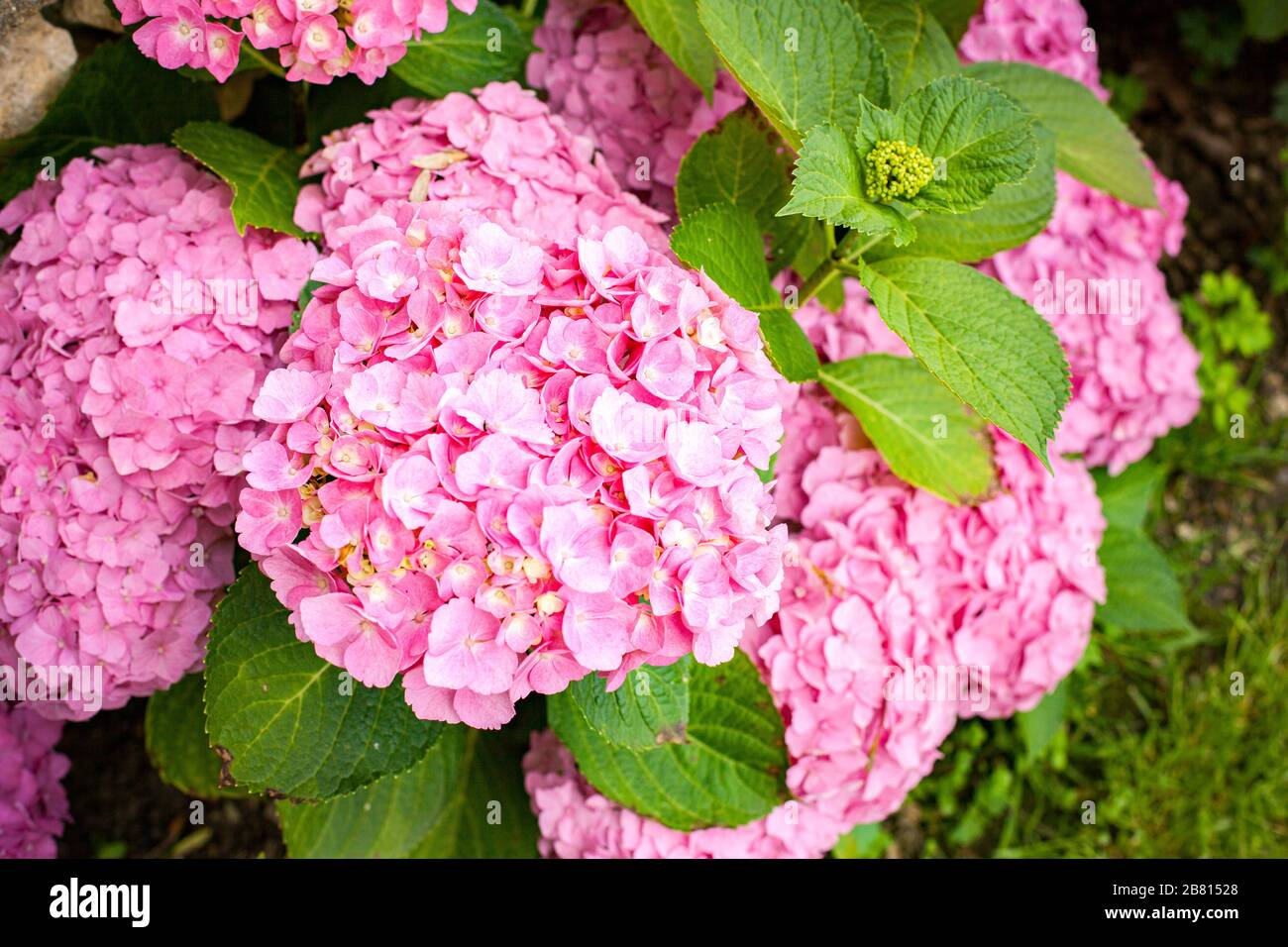 Small Hydrangea Bush With Pink Flowers In Summer Stock Photo