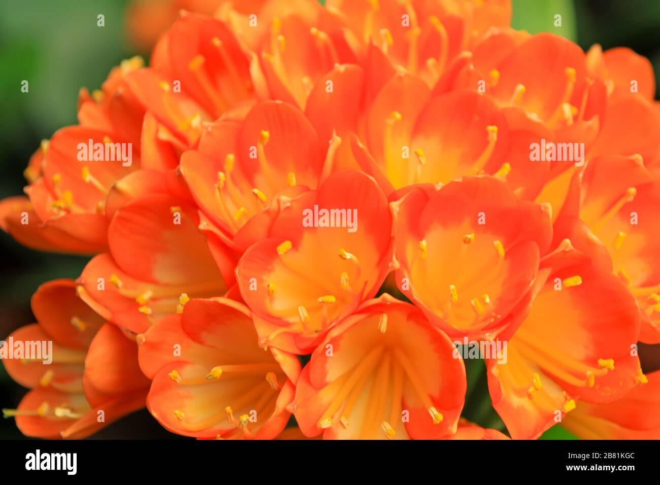 Closeup Of Kaffir Lily A Kind Of Beautiful Flowers Stock Photo