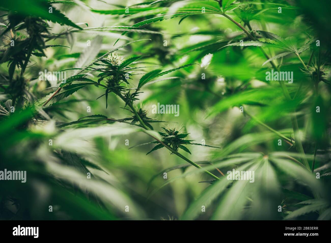 Commercial Hemp Farming In A Greenhouse Industrial Hemp Grown To Produce Cbd Oil And Other Hemp Derived Products Stock Photo Alamy