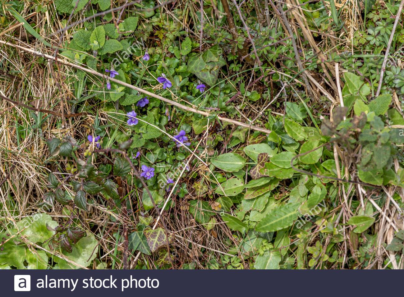 Wild sweet violets nestling in a typical Devon hedgerow surrounded by a variety of wild herbs and flowers. Stock Photo