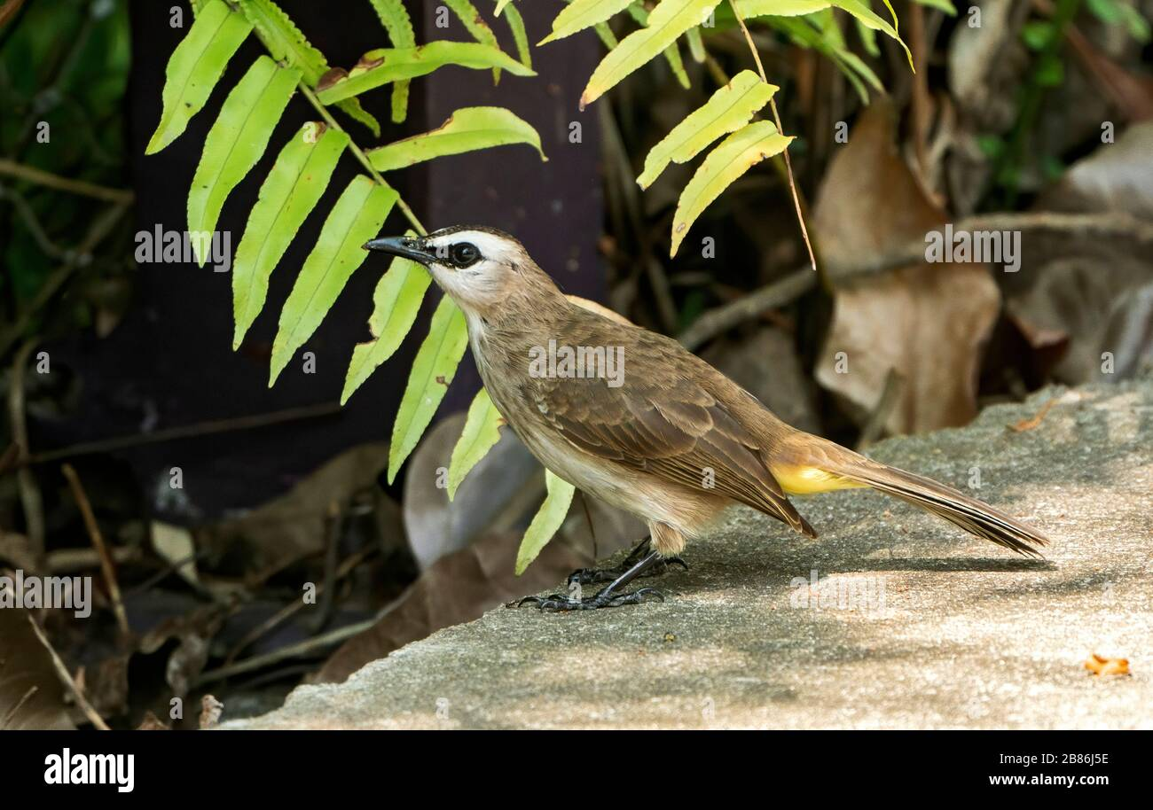 yellow-vented bulbul, Pycnonotus goiavier, feeding on fruit on the ground, Gardens by the Bay, Singapore Stock Photo