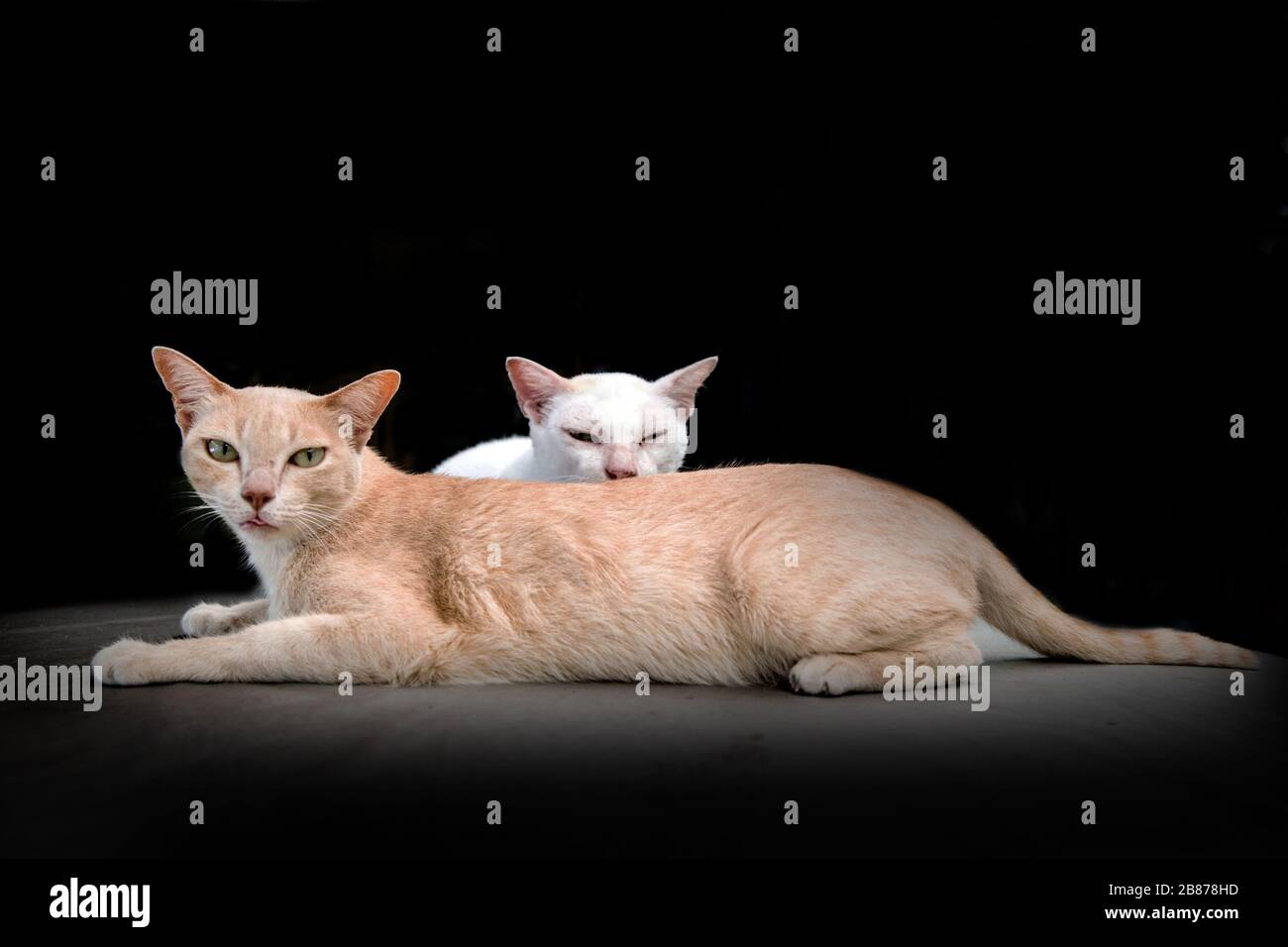 cute kitty cat on black studio.pretty animal Stock Photo