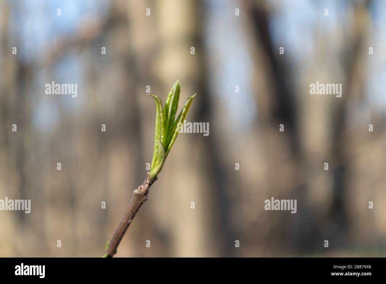 Spring small green leaves bud sprout tree branch in forest. Sunny nature young plant awakening bright light colors Stock Photo
