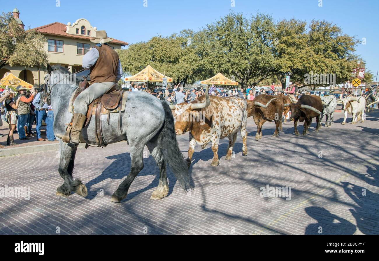 Texas Longhorn Cattle And Cowboys On A Cattle Drive At The Stockyards In Fort Worth Texas Stock Photo Alamy