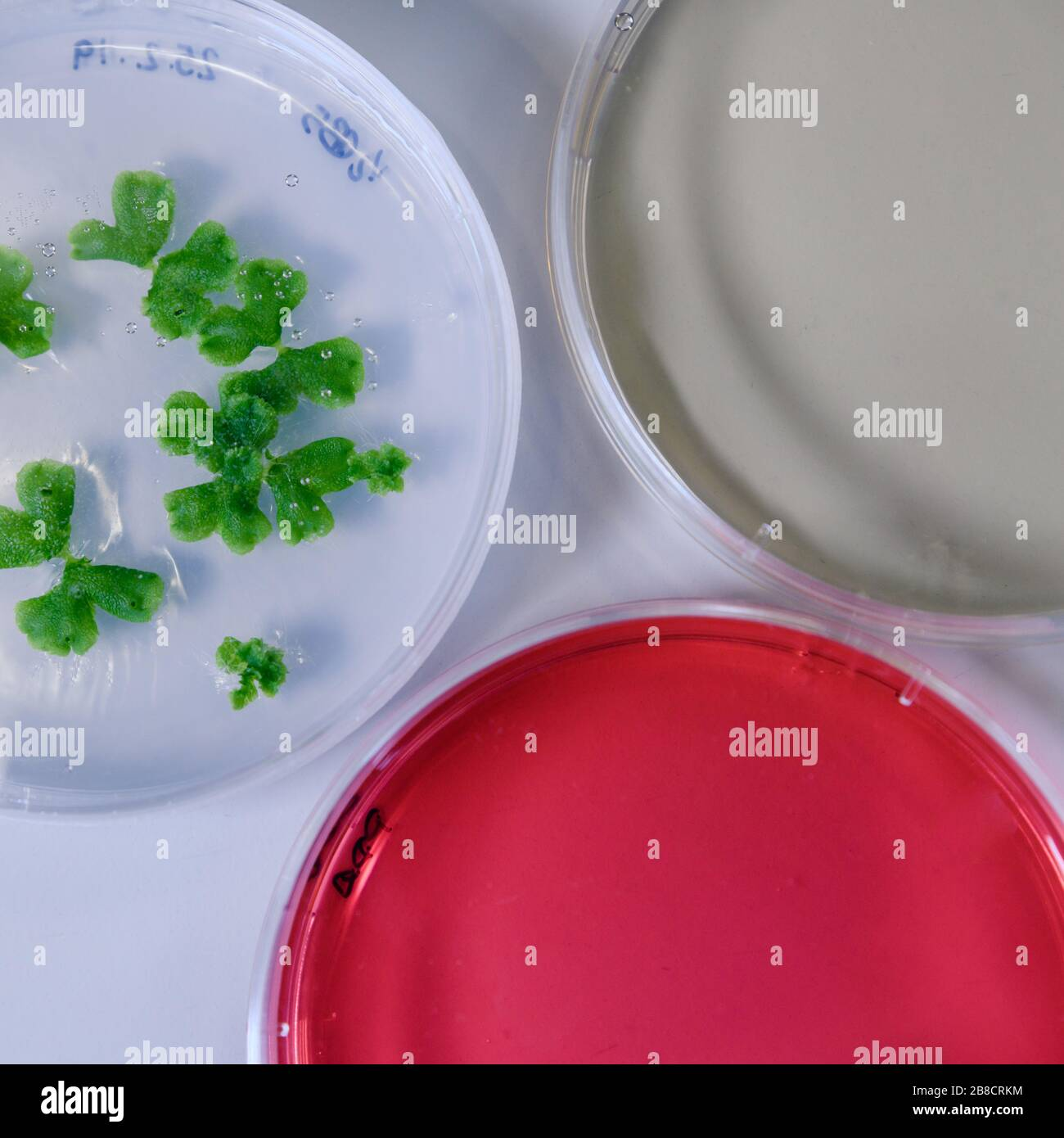 Culture in a petri dish for pharmaceutical bioscience research. Concept of science, laboratory and study of diseases. Coronavirus (COVID-19) treatment Stock Photo