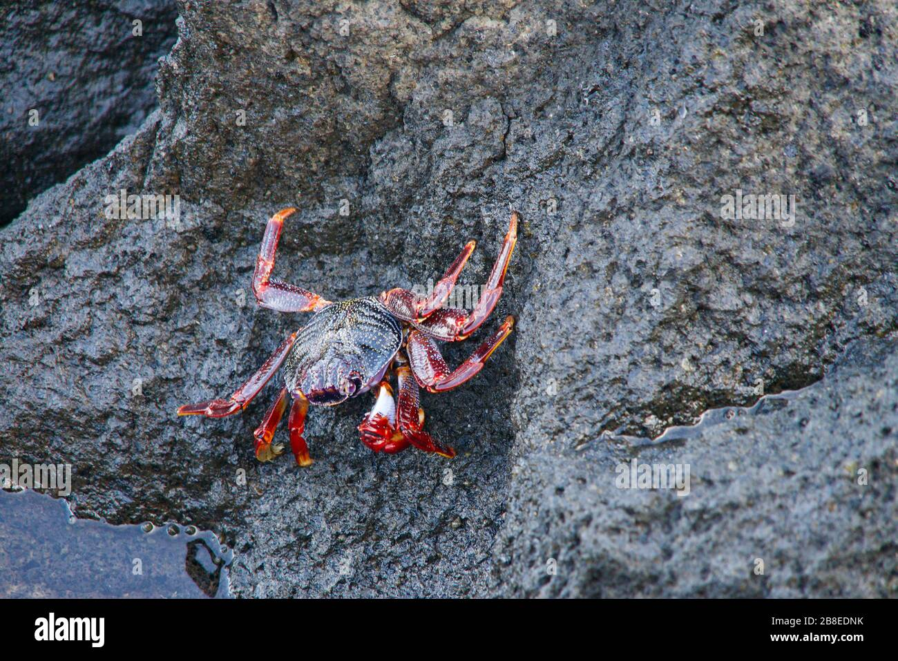 close-up of a young red rock crab Stock Photo
