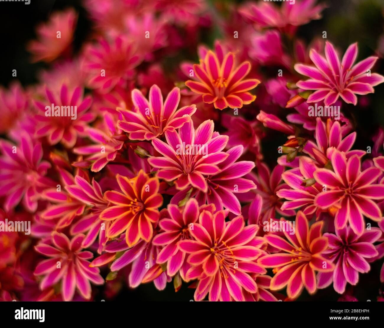 Pink Flower Desktop Wallpaper High Resolution Stock Photography And Images Alamy