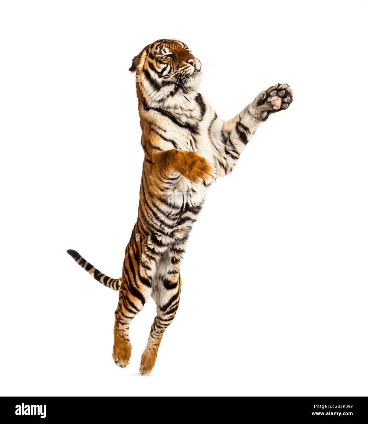 Male tiger jumping, big cat, isolated on white Stock Photo