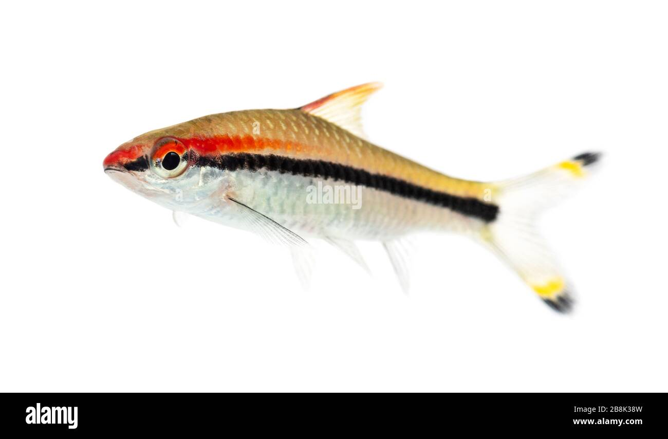 Side vie of a Denison barb, fish, Sahyadria denisonii, isolated on white Stock Photo