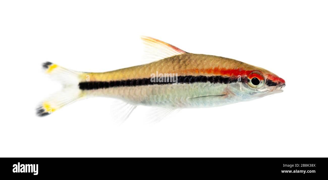 Side vie of a Denison barb, fish, Sahyadria denisonii, isolated on white Stock Photo