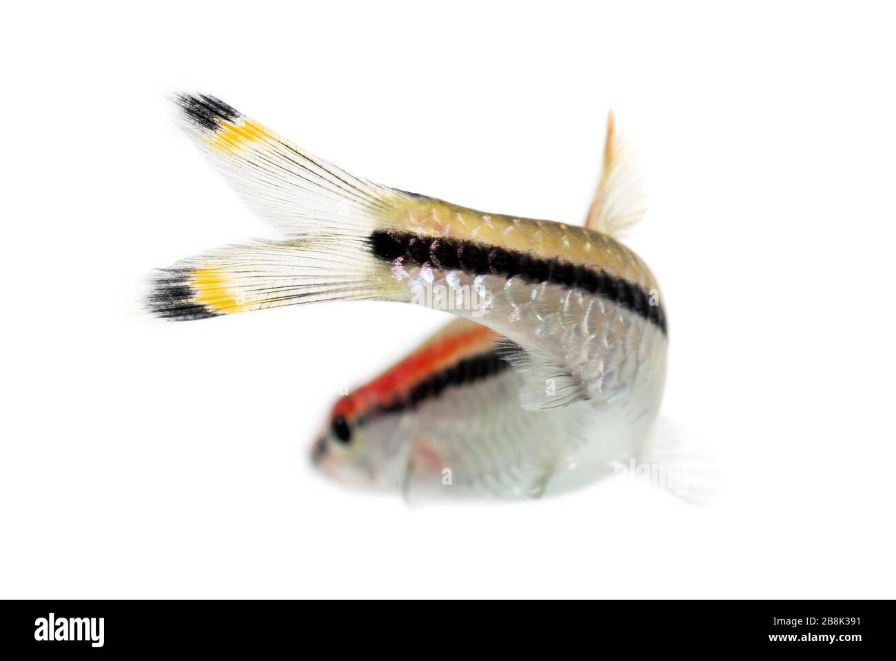 Back view of a Denison barb, fish, Sahyadria denisonii, isolated on white Stock Photo