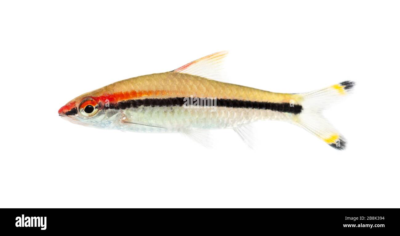Side view of a Denison barb, Sahyadria denisonii, isolated on white Stock Photo