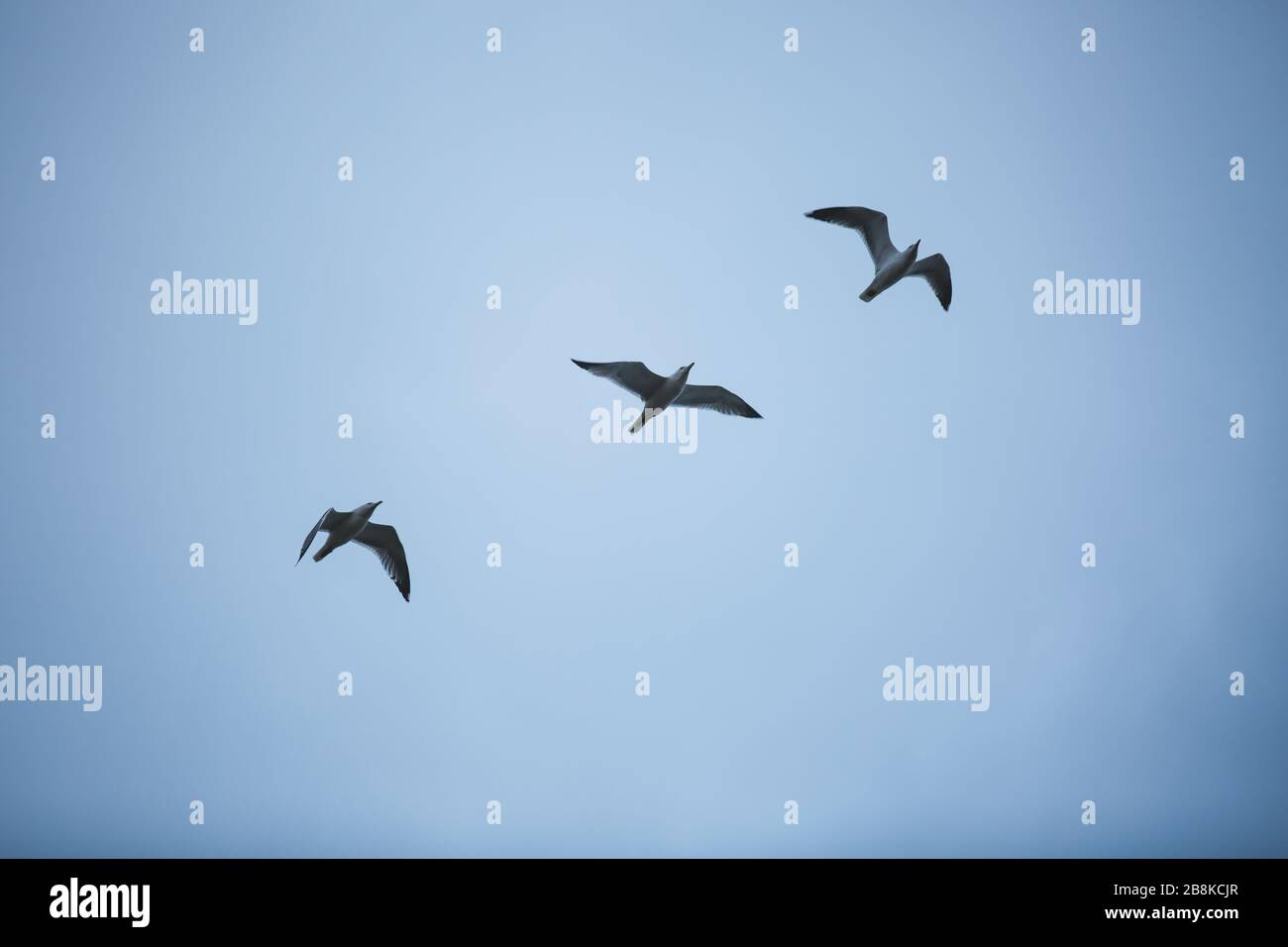 Three Seagull Birds Flying - with blue sky background Stock Photo