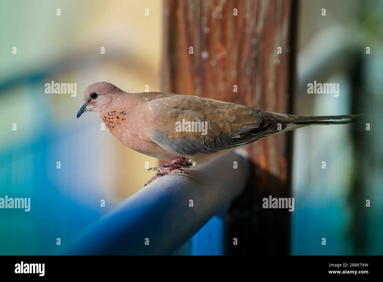 dove wild or spinopelvic Chinensis or mountain dove or pearl-necked dove or spotted turtle-dove in Riyadh zoo Stock Photo