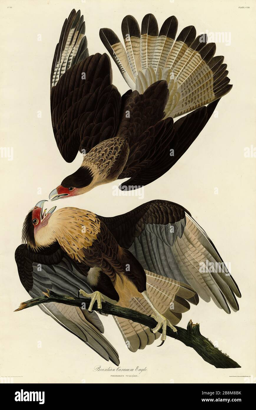 American Bald Eagle USA Ornithology Natural History Bird Lithograph Print 1910s Germany Illustration To Frame