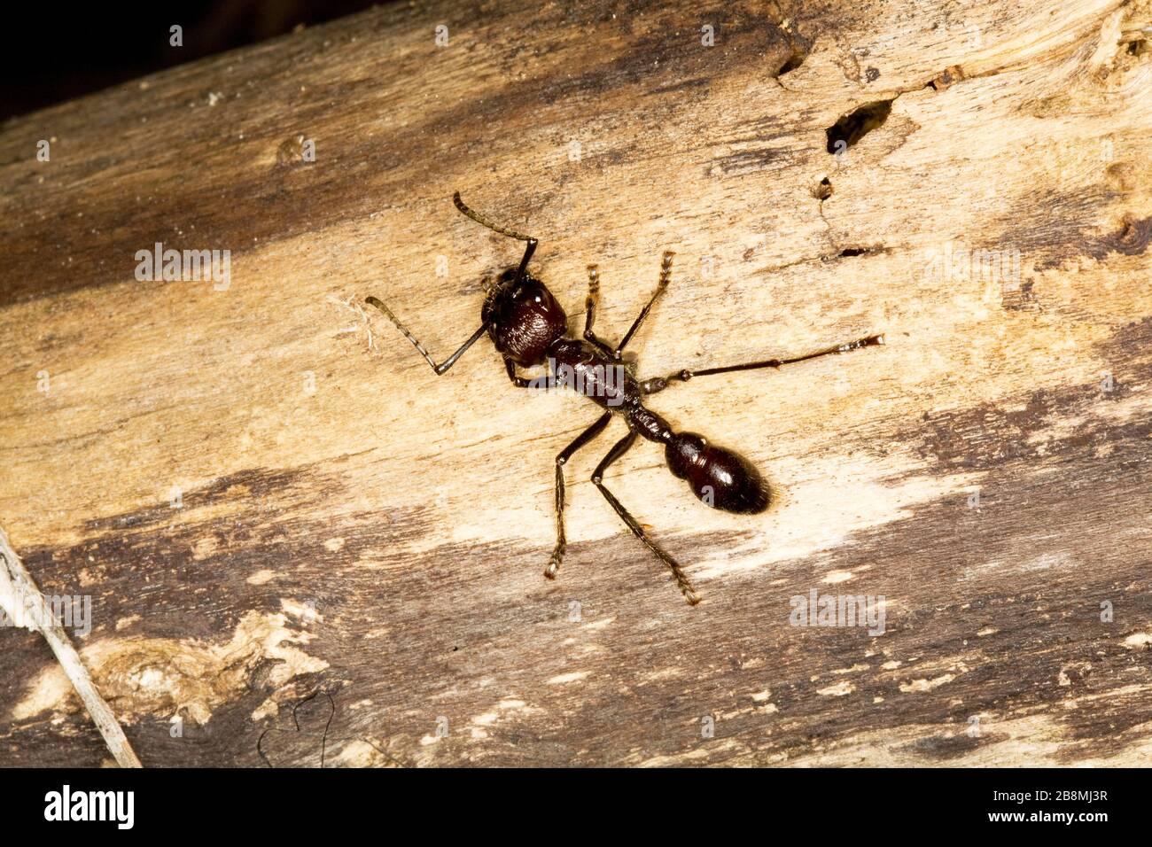 formiga-tucandira, formiga-vinte-e-quatro-horas, Ant-tucandira, Ant-twenty-and-four-hours, Tucandeira, Paraponera clavata, Aquidauana, Mato Grosso do Stock Photo