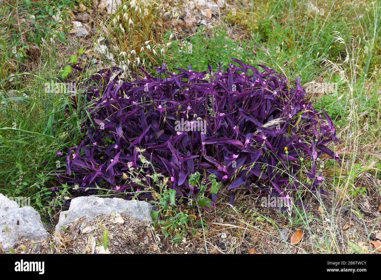 Purple Heart Tradescantia Pallida With Purple Leaves And Pink