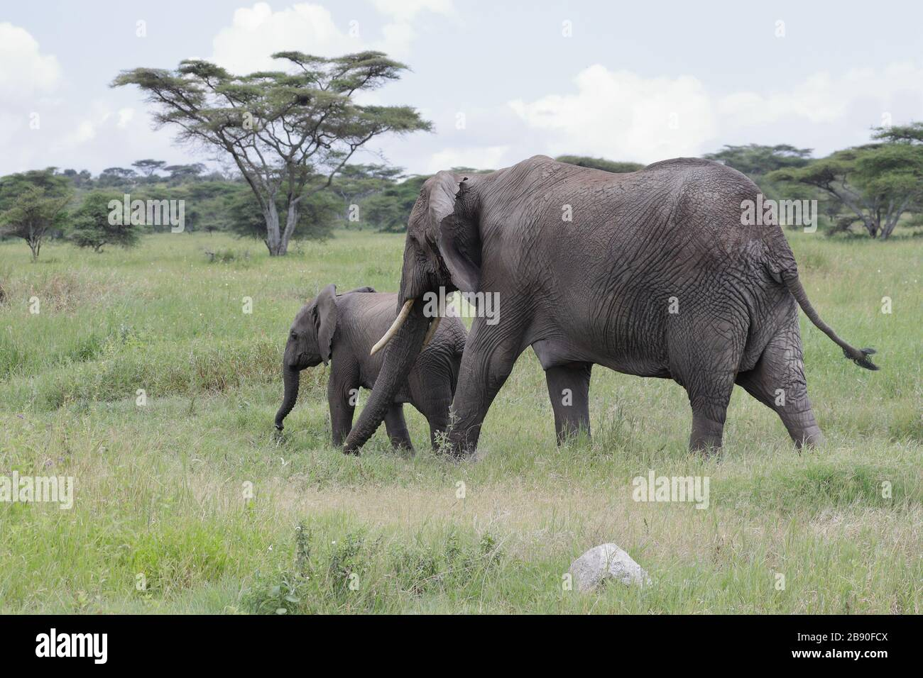 The African bush elephant, also known as the African savanna elephant, is the largest living terrestrial animal. Stock Photo
