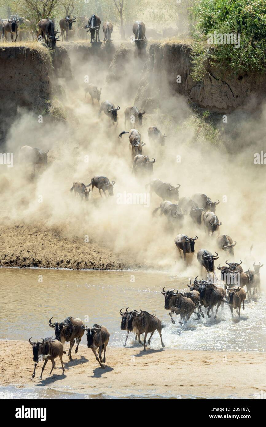 Blue wildebeest, brindled gnu (Connochaetes taurinus) herd crossing the Mara river during the great migration, Serengeti national park, Tanzania. Stock Photo
