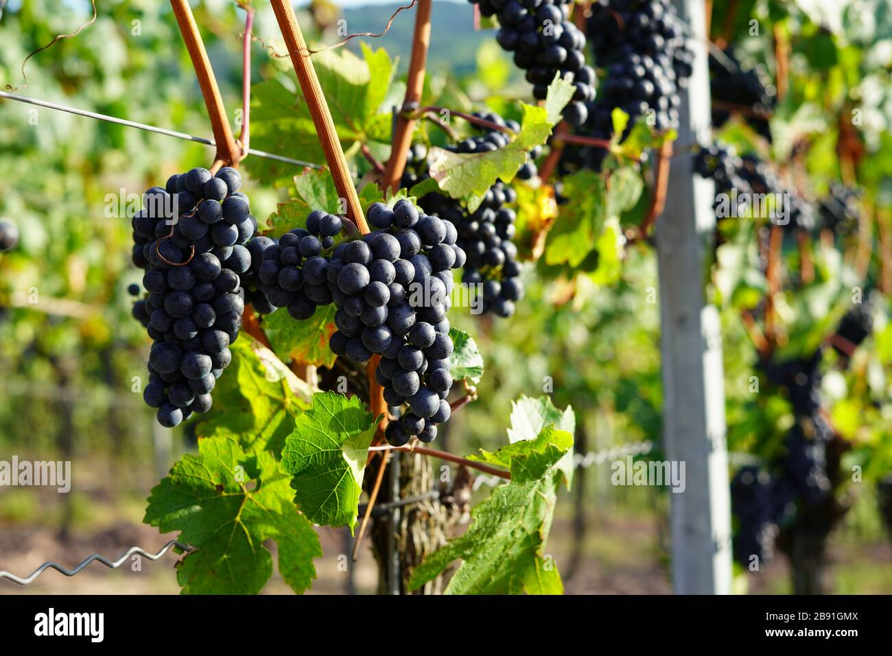 Weinberg, Wein, Vino, Wine Stock Photo