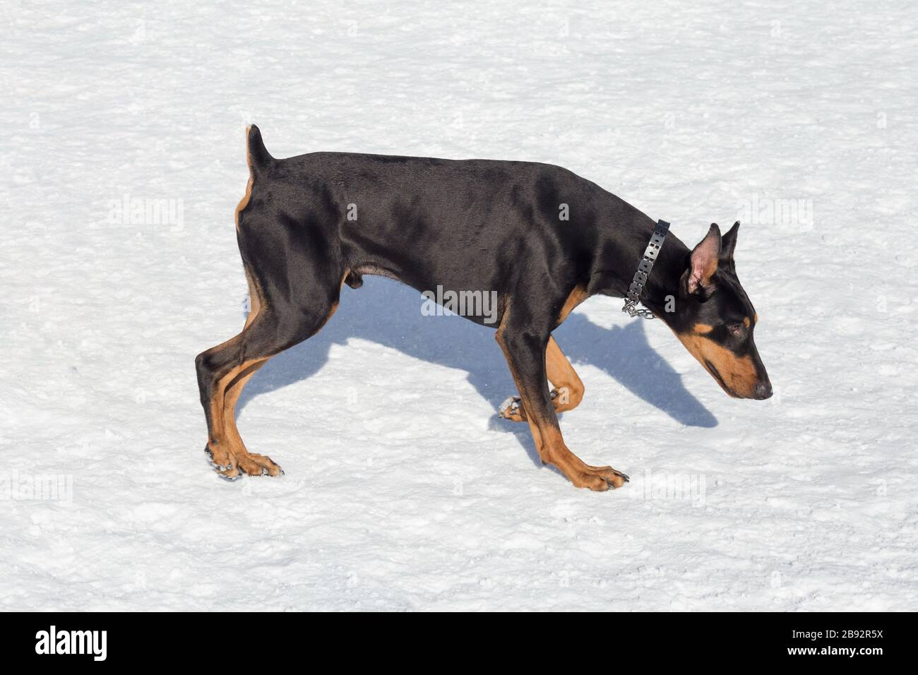 Doberman Pinscher Puppy Is Walking On A White Snow In The Winter Park Pet Animals Purebred Dog Stock Photo Alamy
