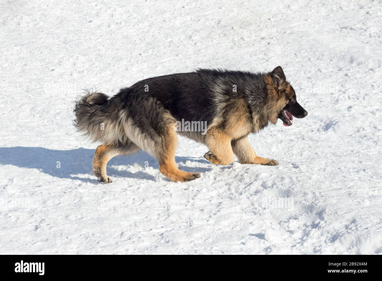 Long Haired German Shepherd High Resolution Stock Photography And Images Alamy