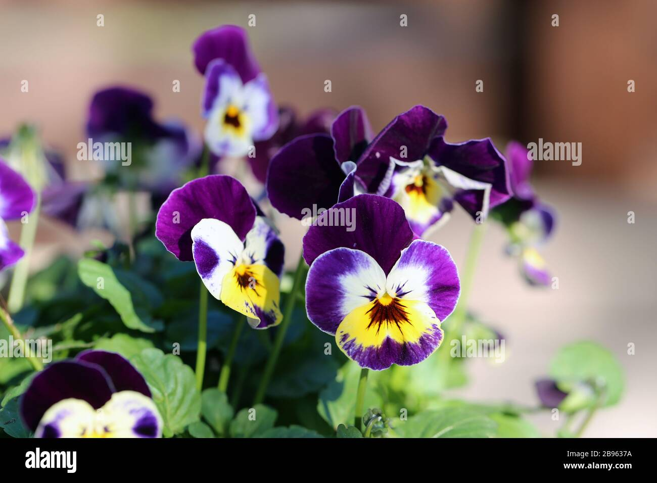 Purple, yellow and white tricolored pansy flowers in a macro image. You can see multiple, pretty violet flowers in a closeup with soft background. Stock Photo