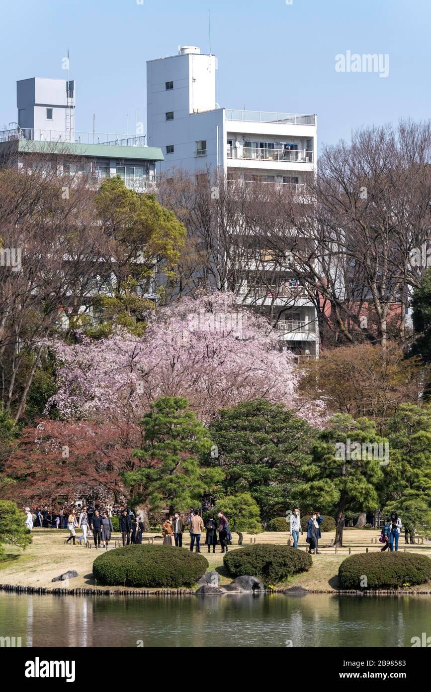 Weeping Cherry Tree Rikugi En Garden Bunkyo Ku Tokyo Japan