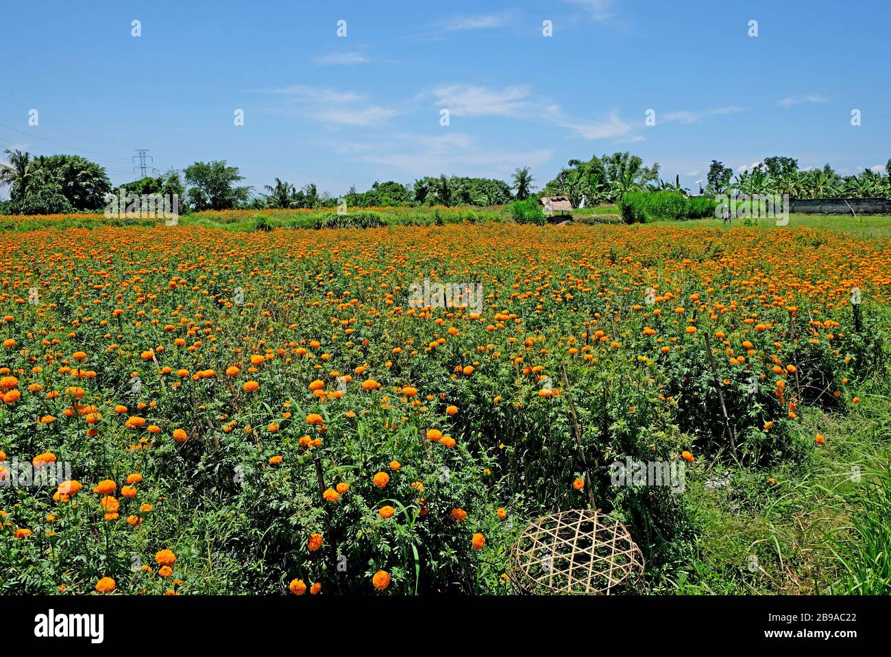 Marigold flower fields. These flowers are used in Bali for religious matters as gifts to Gods. Indonesia. Stock Photo