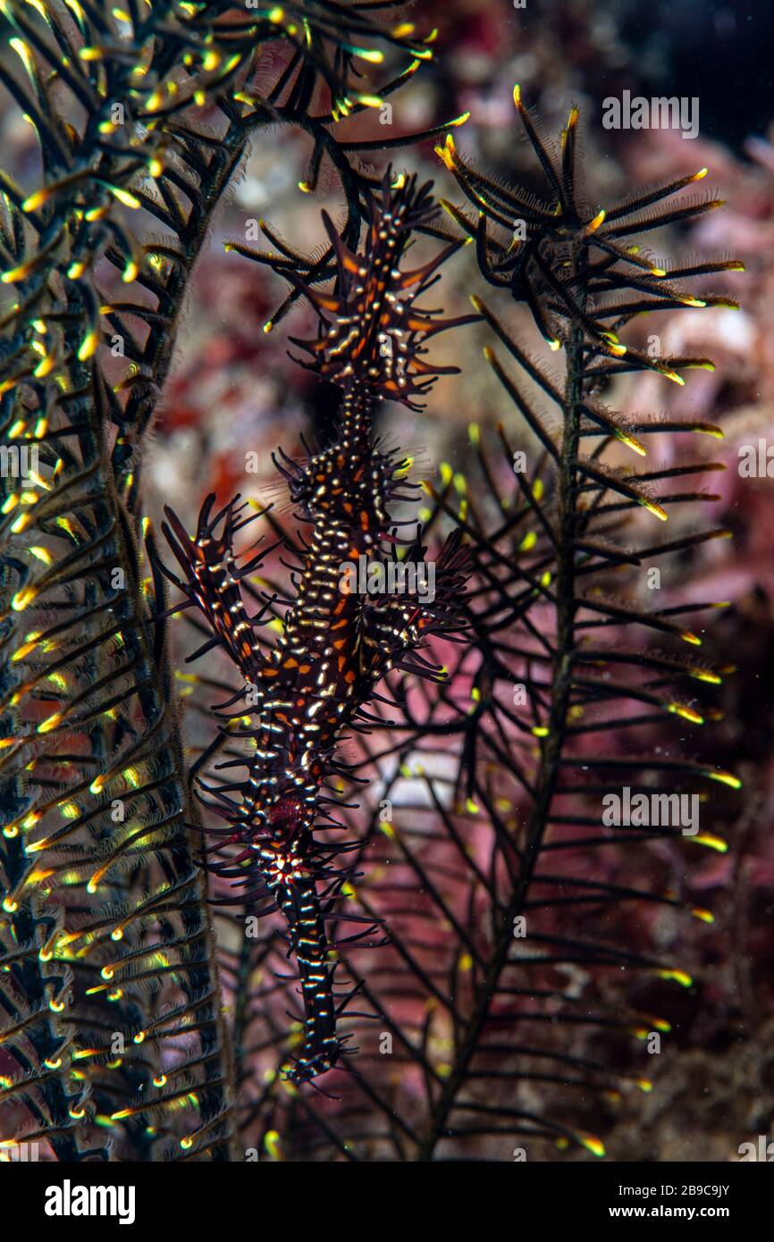 A ghost pipefish hides among the arms of a feather star. Stock Photo