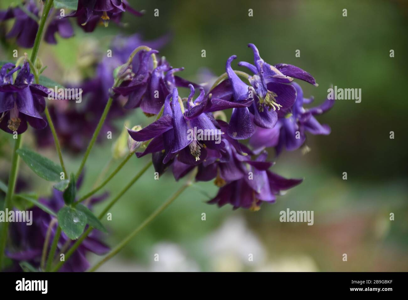 Garden With Very Pretty Dark Purple Columbine Flowers Blooming