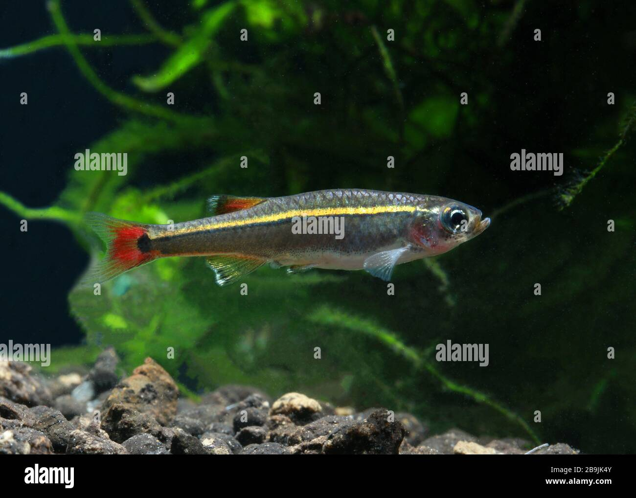 White Cloud Mountain Minnow High Resolution Stock Photography And Images Alamy,How To Cook Chicken Breast