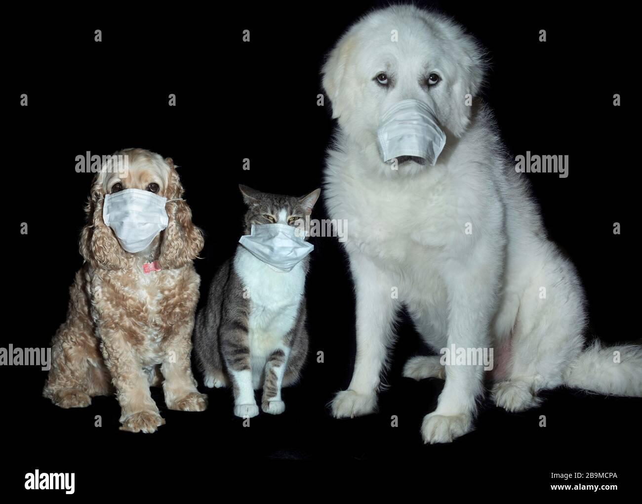 Great Pyrenees Cocker Spaniel American Shorthair Cat High Resolution Stock Photography And Images Alamy