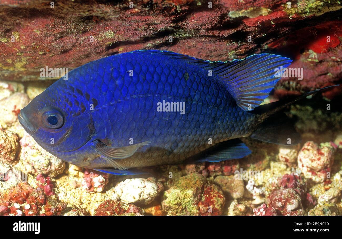 Blue Damselfish, Cadenat's Chromis, 'Chromis cadenati', Sleeping, Rolas Island, Sao Tome Stock Photo